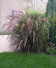 Purple Fountain Grass. Does well in sun or shade.
