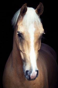 Palomino Horse - Midoak Music Master