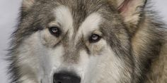 Top Ten Malamute HD Wallpapers Free Download - Topely.com   Top Ten Things of the World.