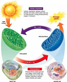 Photosynthesis, Cellular Respiration, and Fermentation - Biology Rocks Biology Classroom, Biology Teacher, Cell Biology, Ap Biology, Teaching Biology, Science Biology, Life Science, Physical Science, Earth Science