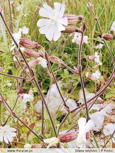 Silene latifolia ou Compagnon blanc. Ces fleurs poussaient au pignon du mess où j'achetais des Kim Pouss et en effet, elles m'accompagnaient.