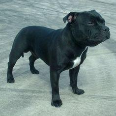 (American) Staffordshire Bull terrier