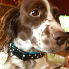 Brittany Spaniel-looks like my little Hunter!