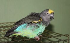 Learn more about #Meyer's Parrot's in this interesting fact sheet.