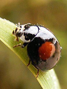 Olla v-nigrum - Coccinellidae de Argentina