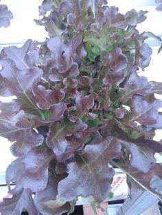 Oak leaf mondaii
