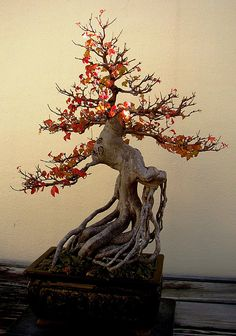 Bonsai Trident Maple by Beverly Vealach