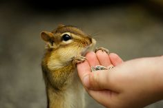 I used to feed the Chipmonks growing up in Colorado - adorable!  I'd LOVE being the person to hand feed Chippy