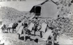 Burros were used to haul water to the residents of Bisbee, Arizona before running water was available in homes.  Here we have a 1905 image of burros transporting water in the upper end of Brewery Gulch. This image is from the photograph collection of the Bisbee Mining & Historical Museum.  Discover more Bisbee, Arizona images and artifacts at www.facebook.com/BisbeeMuseum. #bisbee #arizona #burro #history