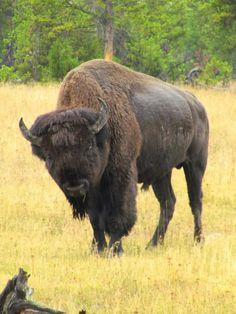 A buffalo in the USA