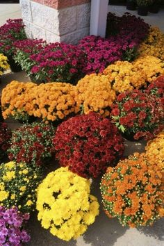 Fertilizing Mums: Tips For Feed Mum Plants and lots of other advice on growing these ever-popular beauties.