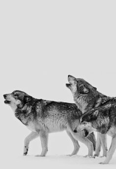 """If you call the wolf, you invite the pack. Beautiful Creatures, Animals Beautiful, Cute Animals, Artemis, Be Wolf, Aedion Ashryver, Of Wolf And Man, Six Of Crows, Beautiful Wolves"