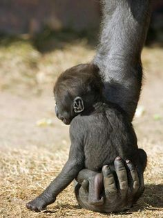 Baby Gorilla Sitting on Mother's Hand. °