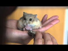 ▶ Quick Tip : How to trim your hamster's nails - YouTube