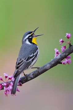 The Yellow-throated Warbler (Setophaga dominica) is a small migratory songbird species breeding in temperate North America. It belongs to the New World warbler family (Parulidae), These birds breed in southeastern North America, and their breeding ranges extend from southern Pennsylvania and northern Missouri, to the Gulf of Mexico.