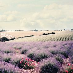 Lavender field and rolling hills  8x8 or 8x10 or by NakedEyePhoto, $19.95