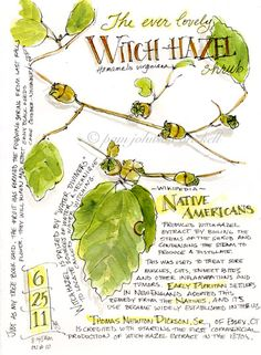 Sketching in Nature: Witchhazel - Pam Johnson Brickell Botanical Drawings, Botanical Illustration, Botanical Prints, Garden Journal, Nature Journal, Watercolor Journal, Watercolor Artists, Watercolor Drawing, Nature Sketch