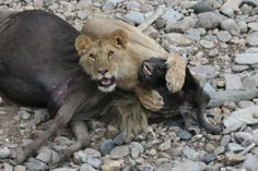 Young lion on Wildebeest kill, Masai Mara by Richard Ainsworth
