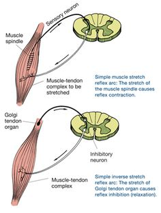 Golgi Tendon Organs and Muscle Spindles Explained Ace Fitness, Fitness Diet, Health Fitness, Autogenic Training, Muscle Belly, Fitness Certification, Muscle Stretches, Muscle Contraction, Physical Therapy