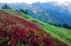 Glacier Peak Wilderness | Huckelberry Bushes, Glacier Peak Wilderness, Washington