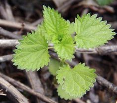 "Do you have stinging nettle in your area? This prickly ""weed"" has a wide variety of culinary and medicinal uses. From MOTHER EARTH NEWS magazine."