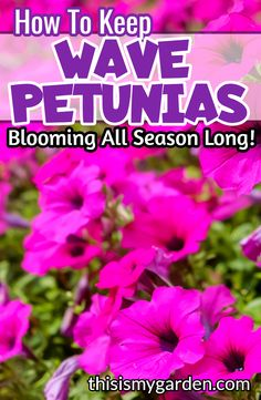 Tired of your wave petunias petering out before the summer season is over? Check out these great tips to keep your wave petunias beautiful well into fall! Petunia Care, Petunia Plant, Petunia Flower, Container Gardening, Gardening Tips, Vegetable Gardening, Container Flowers, Succulent Containers, Container Plants
