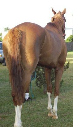 T.B. Chestnut Horse