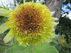 Подсолнухи выращивают во всём мире. На обоих полушариях нашей планеты можно найти эти солнцелюбивые цветы, при этом подсолнух – очень русское растение, это признают и за границей. Жёлтые цветы с черными вкусными семечками являются неотъемлемой частью деревенских пейзажей.