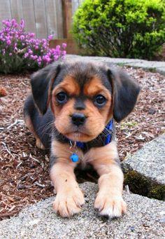 Luna the adorable 'Puggle' puppy (Pug/Beagle mix) Puggle Puppies, Cute Puppies, Cute Dogs, Dogs And Puppies, Doggies, Puppys, Dachshunds, Pug Mix, Beagle Mix