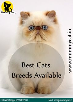 Persian cat or kitten for sale in Delhi, Chennai and Kerala. Persian cat price in India is very reasonable at Mummy Cat. We also offer Persian cat in different colors. Buy A Kitten, Kitten For Sale, Buy A Cat, Persian Cats For Sale, Persian Kittens, Himalayan Cat For Sale, Cute Cats And Dogs, Cats And Kittens, Kitten Accessories