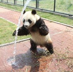 You Know It's Too Hot Out When... - Pandas Run Through Sprinklers