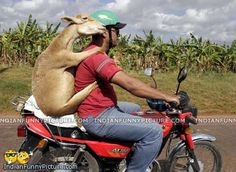 Goat riding a motorcycle in the back. Selected pics with funny captions. Submit your funny captions for these pictures and get rated for the funniest captions. Funny Goat Pictures, Funny Photos, Funny Images, Funny Animals, Cute Animals, Unique Animals, Matou, Animal Antics, Funny Captions