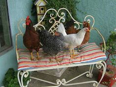 """Rita's cackling hens with roosty, getting in place for their """"Country Living Magazine""""photo shoot!"""