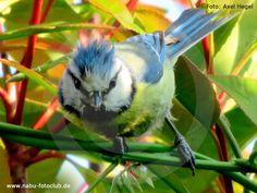 Flink und manchmal auch kopfüber - Die Blaumeise - https://www.nabu.de/tiere-und-pflanzen/aktionen-und-projekte/stunde-der-wintervoegel/vogelportraets/12989.html