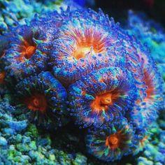 Amazing acans @jjsilberman! #polyplab . . . #coral #reeftank #coralreeftank #reef #reefpack #reef2reef #reefcandy #reefersdaily #reefrEVOLution #coralreef #coraladdict #reefaholiks #reefjunkie #reeflife #instareef #allmymoneygoestocoral #instareef #reefpackworldwide #ilovemyreef #rarecorals #reefing #exoticcorals #reefporn #reeferdise #reefers4reefers #coralporn #aquarium #polyplab