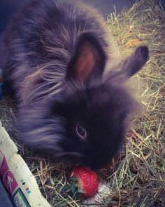 My name is Gatsby & I love strawberries...#bunny #bunnies #bunnylove #bunnyears #bunnyoftheday #BunnyWorld #BunnyMadMagazine #Bunnymad #bunnystagram #bunniesofinstagram #bunnyofig #rabbit #rabbits #rabbitsofinstagram #rabbitstagram #rabbitoftheday #rabbitofinstagram #rabbitmad #famouspets #famouspetsofinstagram #cute #adorable #Ohana #pet #pets #fluffy #fluff #Gatsby #strawberry #strawberries by opheliaraven