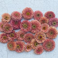 cut flower planning Floret_Zinnia_Salmon Rose-1