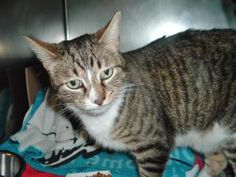 Vinny is an adoptable Domestic Short Hair Cat in Columbus, OH. My name is Vinny and I am a very handsome six year old neutered male brown tiger and white cat in need of a new home.   I came to Cat Wel...