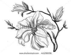 White magnolia flower branch in blossom isolated on white background. Hand drawn watercolor botanical black and white monochrome illustration for wedding printings, card, invitation. Japanese style.