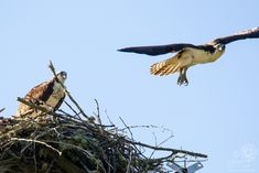 Papa Osprey moved off the eggs and took flight Osprey Nest, Year 6, Pictures Of The Week, Eggs, Egg, Egg As Food