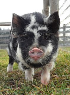 MaryAnn, the Kunekune pig.  Want one of these for our property: small, heritage breed pig.  Good pasture grazer, little rooting.