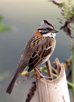 The Pectoral Sparrow (Arremon taciturnus): Emberizidae family. Bolivia, Brazil, Colombia, French Guiana, Guyana, Peru, Suriname, Venezuela