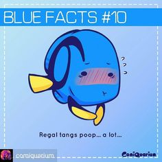 Happy about the first ever successful captive breeding of the Blue Tang. ....yep.... The thing is as herbivores they have to keep munching all day (just like cows elephants rhinos etc) and that translates to a lot of poop. Which means a powerful filtration system is required for the aquarium! #comiquarium #regaltang #hippotang #bluefacts #surgeonfish #palettesurgeonfish #cutefish #tang #findingdory #Regrann