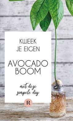 Growing an avocado is really easy. In this DIY we explain how you can grow an avocado plant. Because with an avocado from your own garden, your avocado recipes will be even tastier. Avocado Dessert, Eco Garden, Tropical Garden, Avocado Toast, Avocado Tree, Avocado Salat, Growing Tree, Jaba, Garden Inspiration