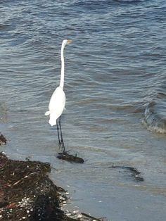 Florida Egret on Sanibel Island.  At one time the egrets are almost extinct.  #beaches #beautiful #beachlife #beach #naturelovers #seascape #beachtime #lovefl #life #florida