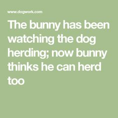 The bunny has been watching the dog herding; now bunny thinks he can herd too