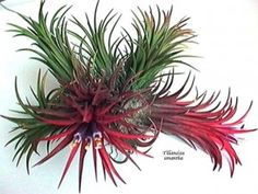 Tillandsia – Would You Grow One Of These In Your Home? | Site For Everything