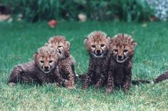 i want to work at the cango wildlife ranch Cheetahs, Wildlife Photography, Cubs, Places To See, South Africa, Ranch, Dreams, Spaces, Garden