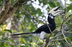 The Oriental Pied Hornbill (Anthracoceros albirostris) is found in the Indian Subcontinent and Southeast Asia, ranging across Bangladesh, Bhutan, Brunei, Cambodia, Indonesia, Laos, Malaysia, Myanmar, Nepal, Singapore, Thailand, Tibet and Vietnam. Its natural habitat is subtropical or tropical moist lowland forests. This hornbill's diet includes wild fruit (esp. figs, genus Ficus) and other fruit such as rambutans, along with small reptiles such as lizards and frogs, and larger insects.