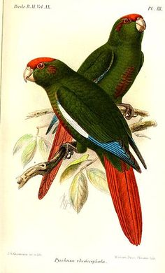 Rose-crowned Conures or Parakeets (Pyrrhura rhodocephala) - also known as Rose-headed Conures or Parakeets Vintage Illustration, Nature Illustration, Puffins Bird, History Posters, Tropical Birds, Animal Sketches, Drawing Artist, Bird Drawings, Butterfly Art
